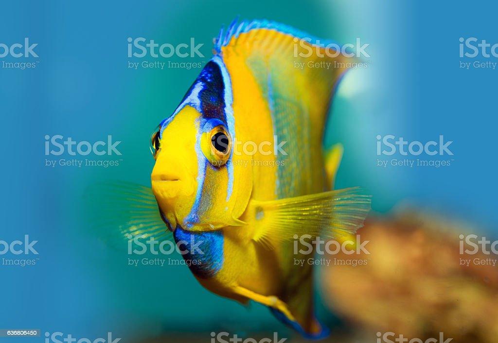 King Angel Fish stock photo