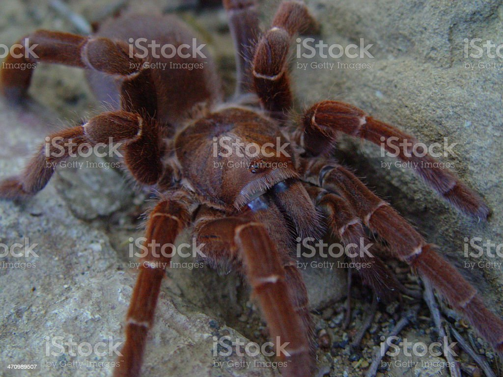 King Baboon Spider stock photo