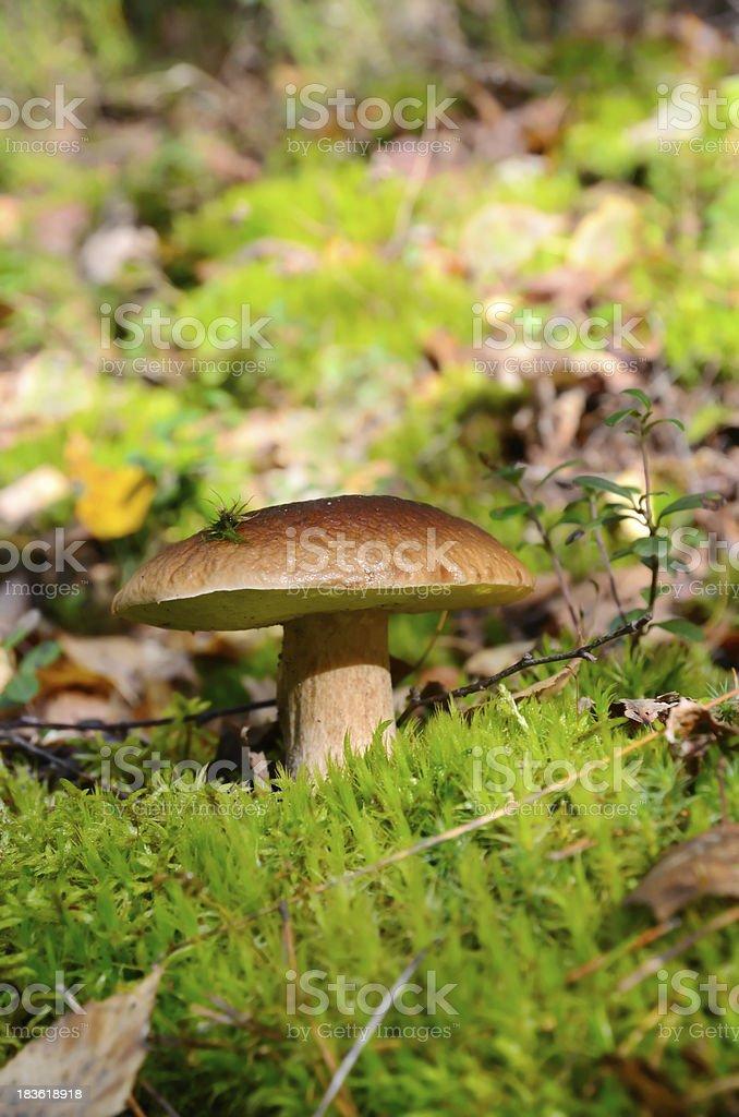 King boletus mushroom royalty-free stock photo