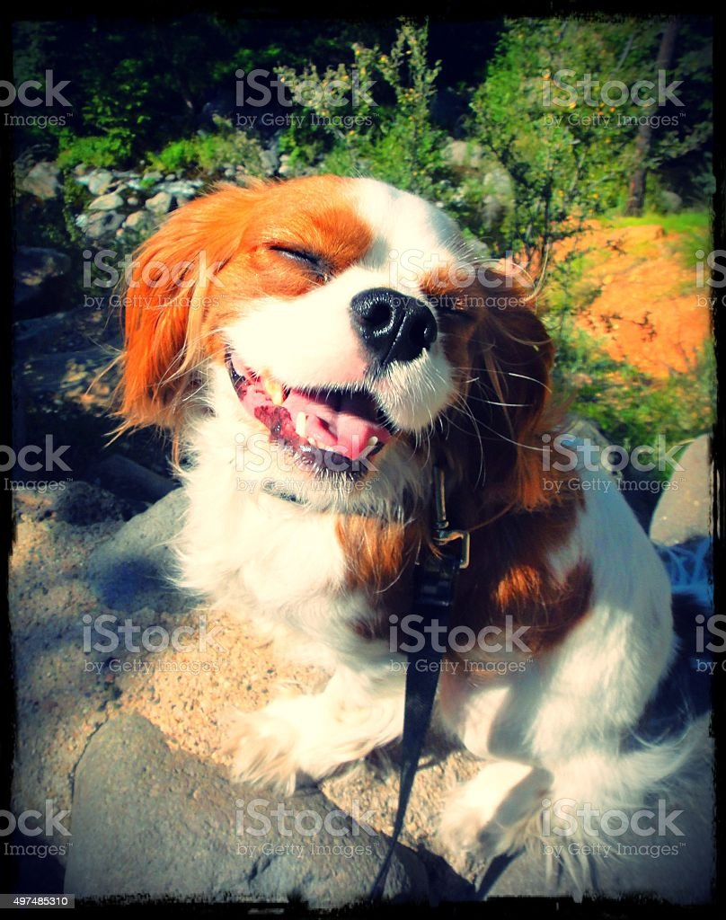 King Charles Cavalier Smiling Dog in Sedona stock photo