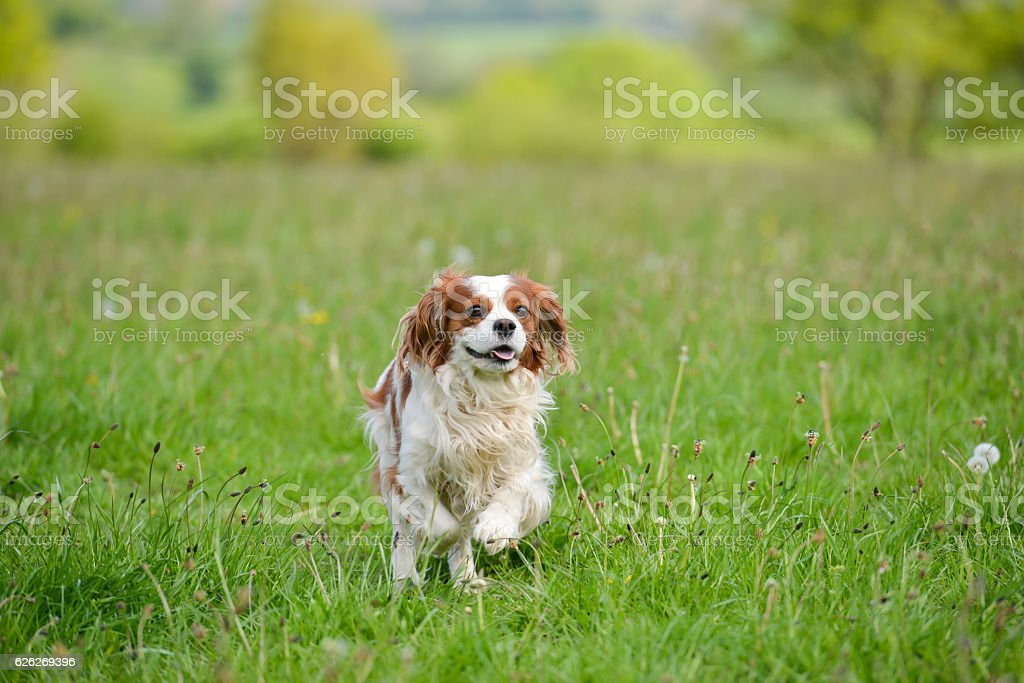 King Charles spaniel enjoys a run stock photo