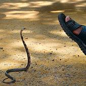 king cobra attacks man