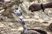 King Cobra in Sri Lanka