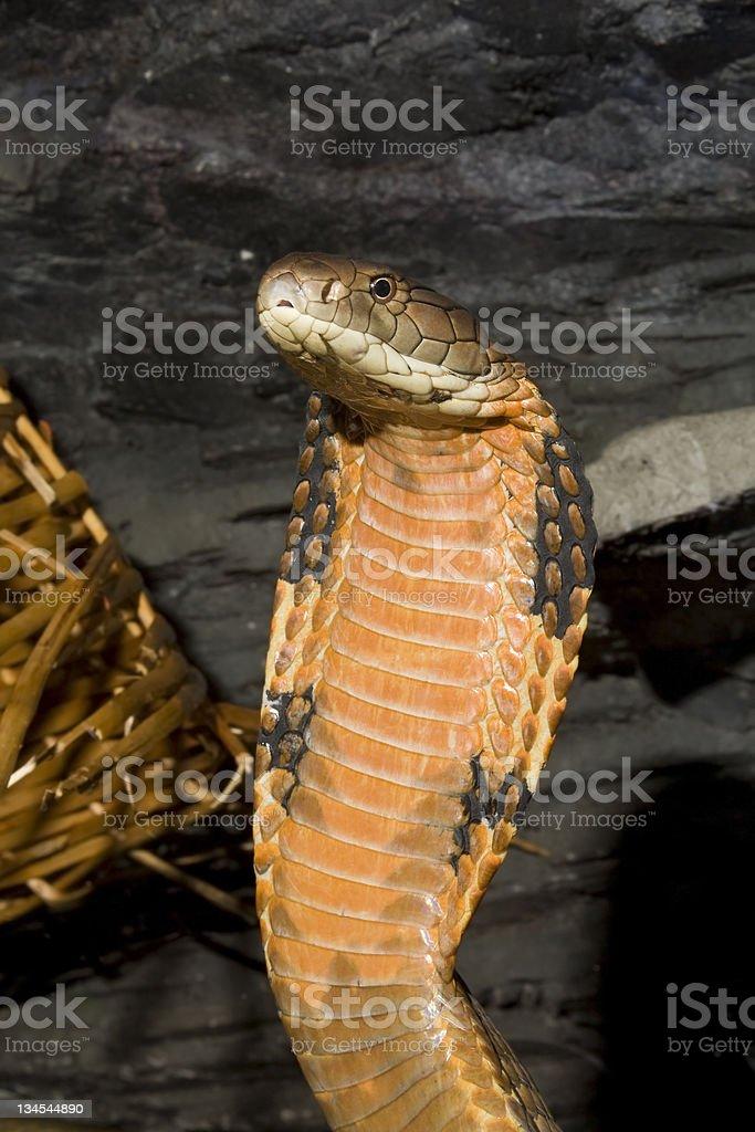 King Cobra - Ophiophagus hannah royalty-free stock photo