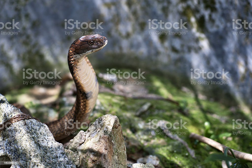 King Cobra royalty-free stock photo