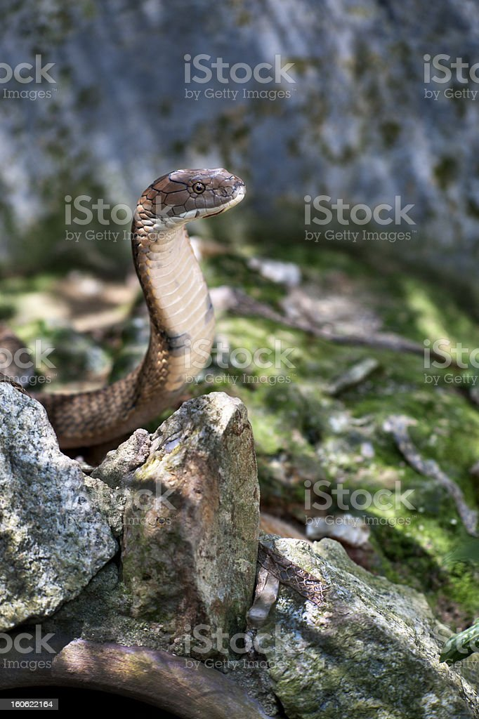 King Cobra royalty-free stock photo