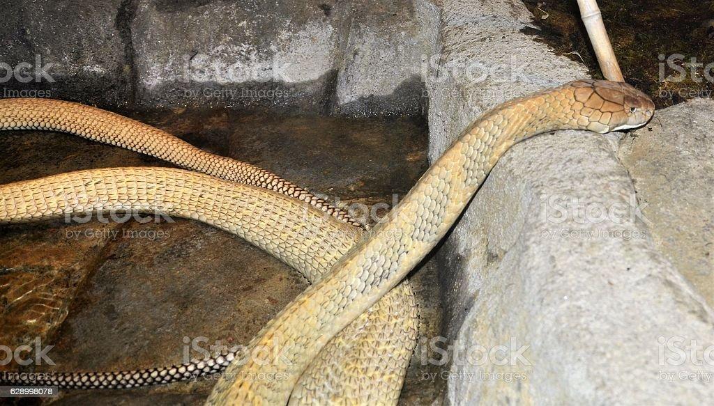 King Cobra stock photo