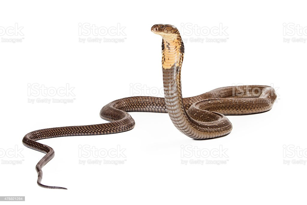King Cobra Snake Looking to the Side stock photo