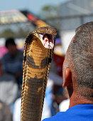 King Cobra Snake ready to atack