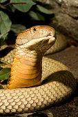 King Cobra Snake Rising to Hood
