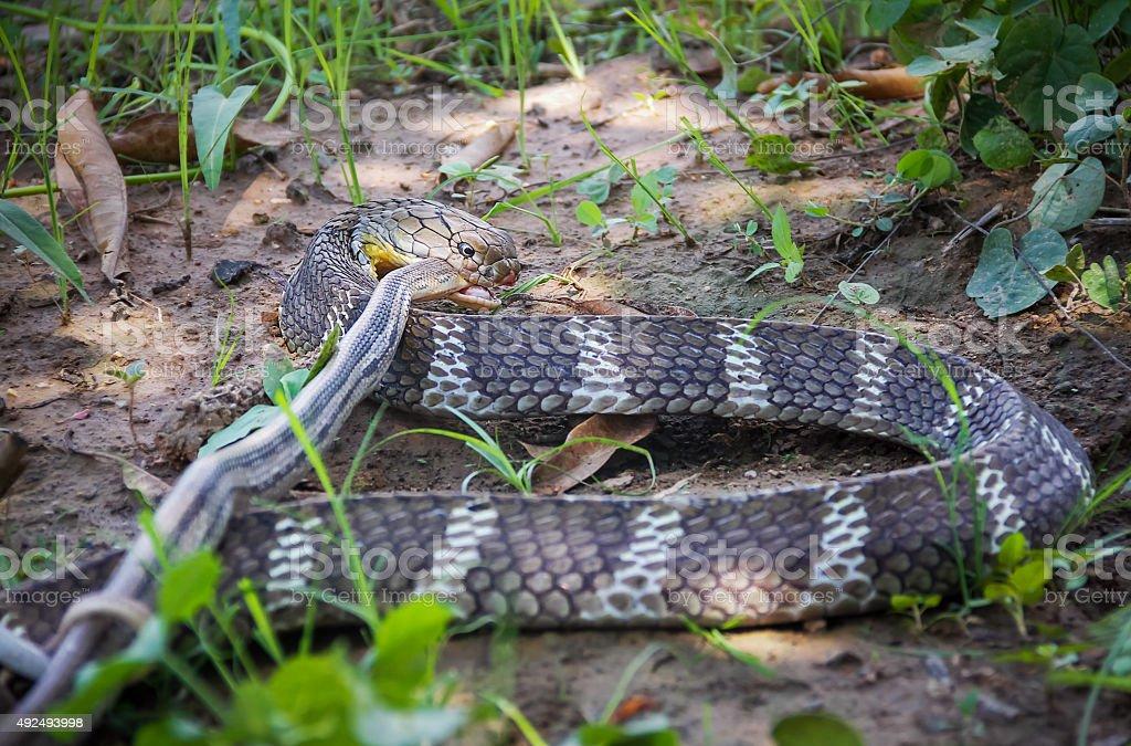 King Cobra snake,Naja stock photo