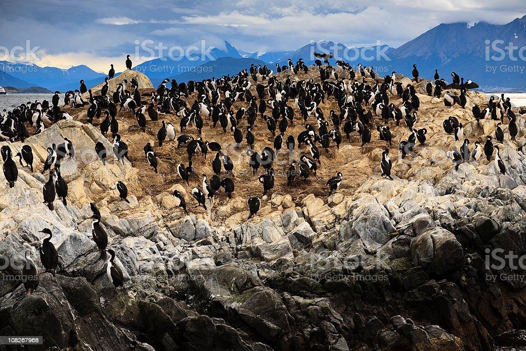 King Cormorant Bird Colony on Small Rock Island stock photo