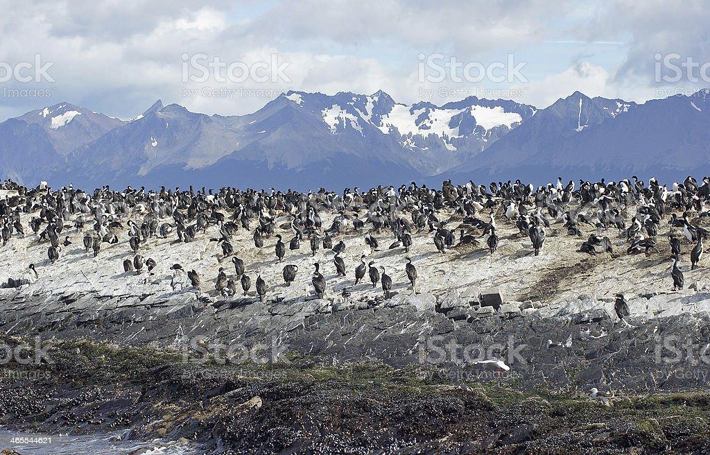 King Cormorant colony, Argentina royalty-free stock photo