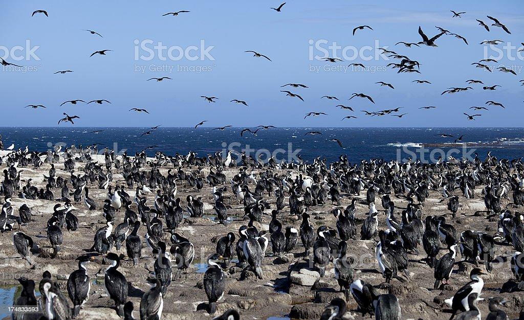 'King Cormorant Colony, Falkland Islands' stock photo