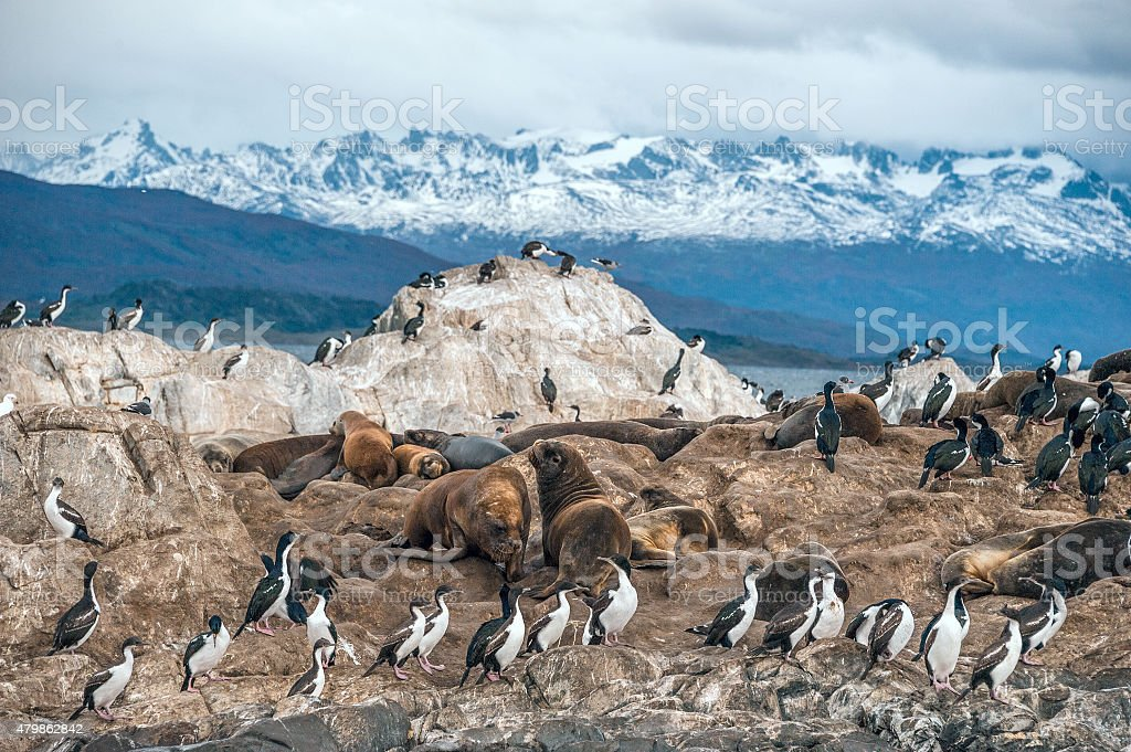 King Cormorant colony in the Beagle Channel stock photo