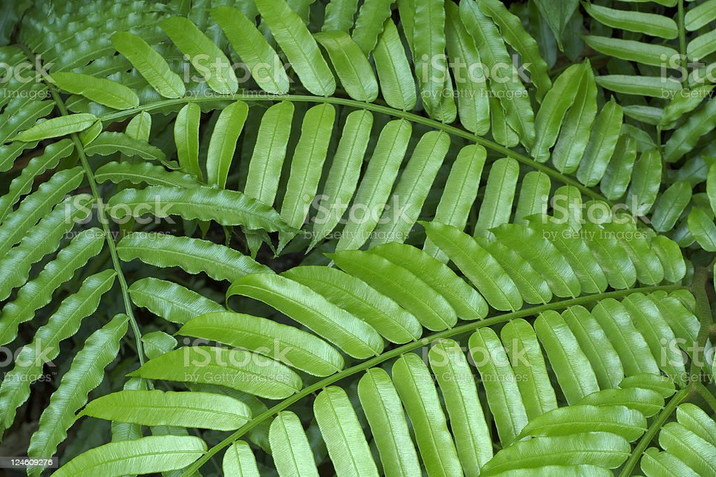 king fern - angiopteris evecta stock photo