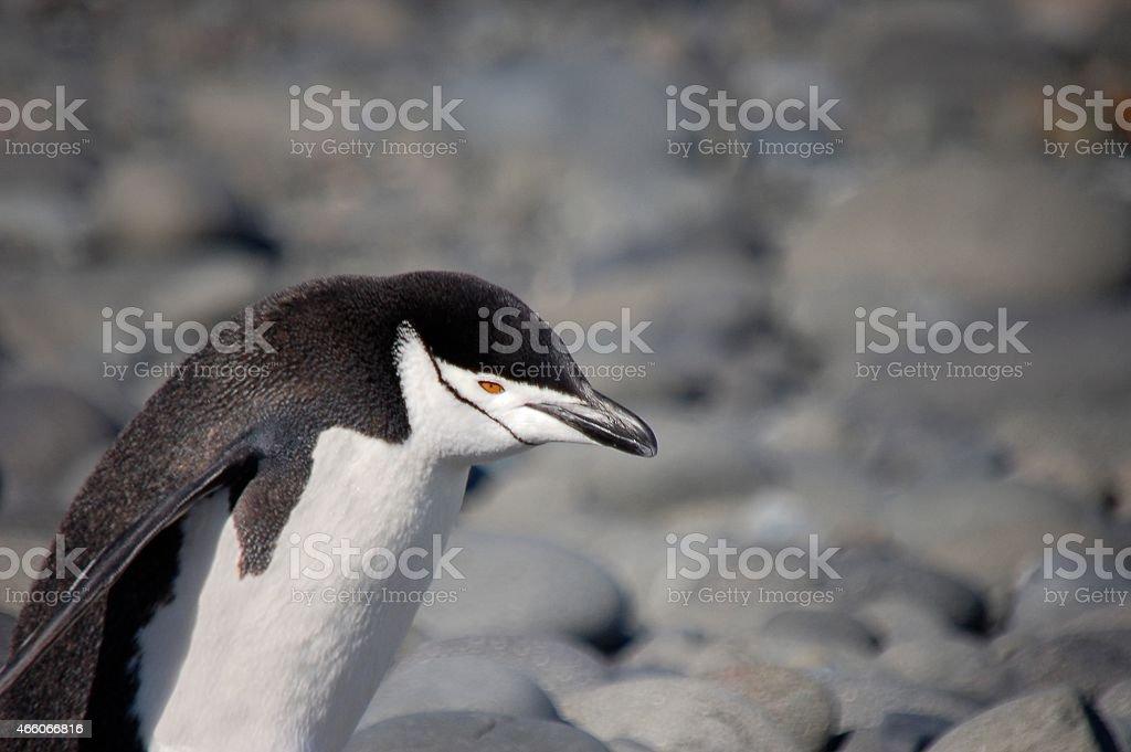 King George Island Chinstrap Penquin stock photo