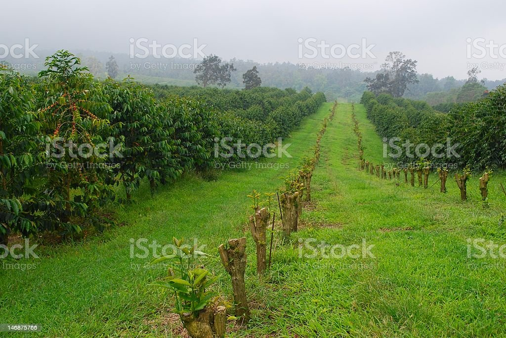 King Kona coffee fields stock photo