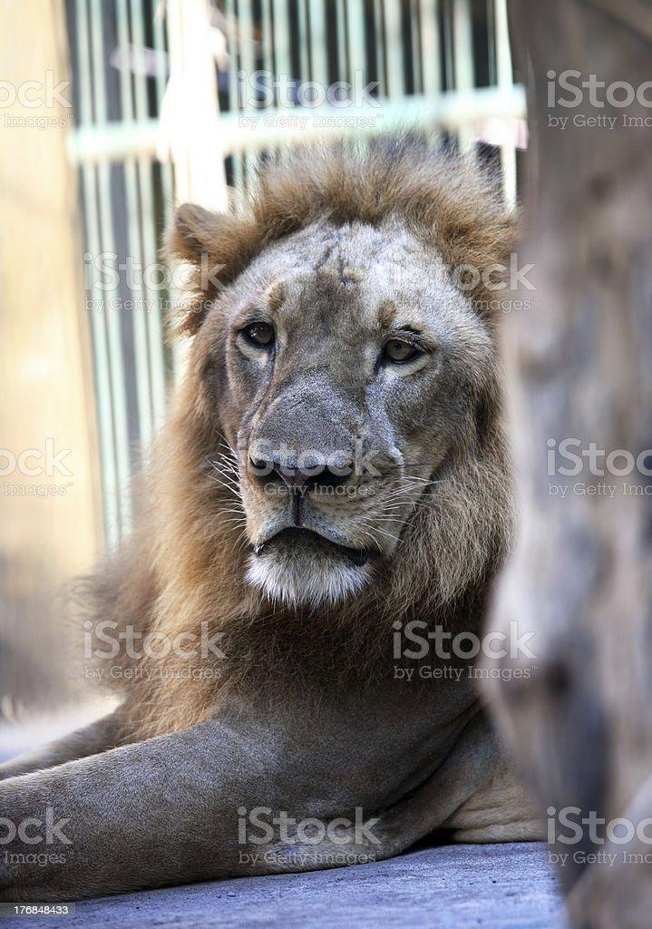 King - lion royalty-free stock photo
