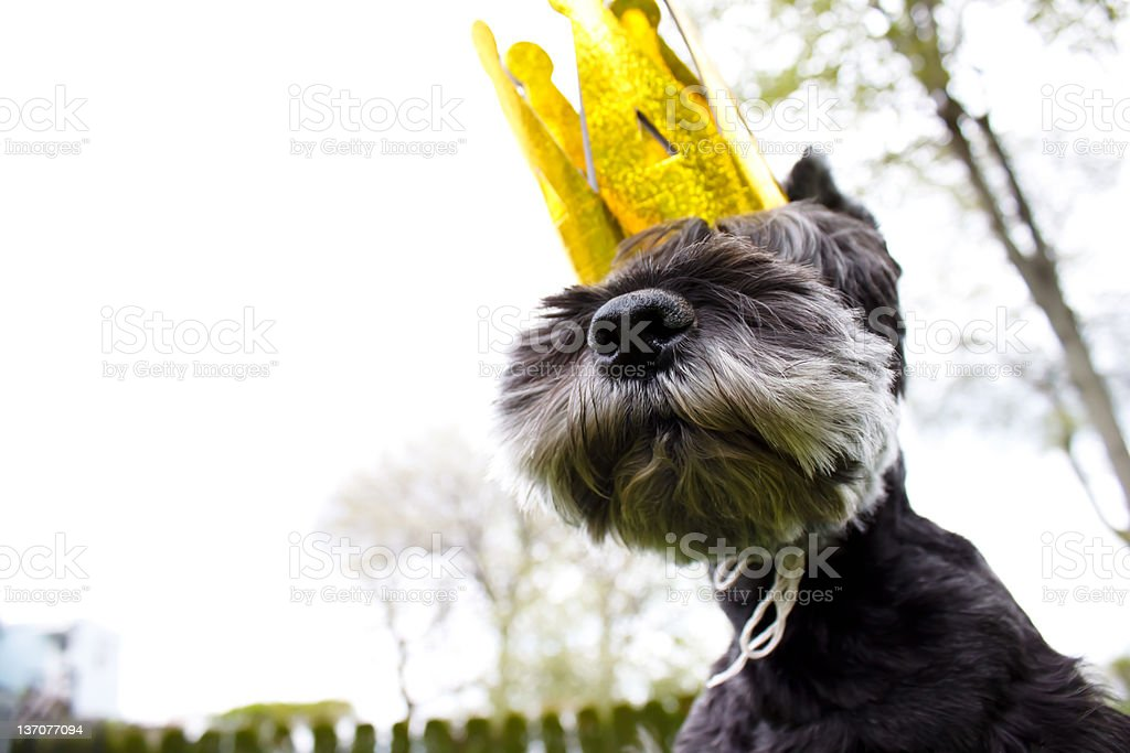 King miniature schnauzer royalty-free stock photo