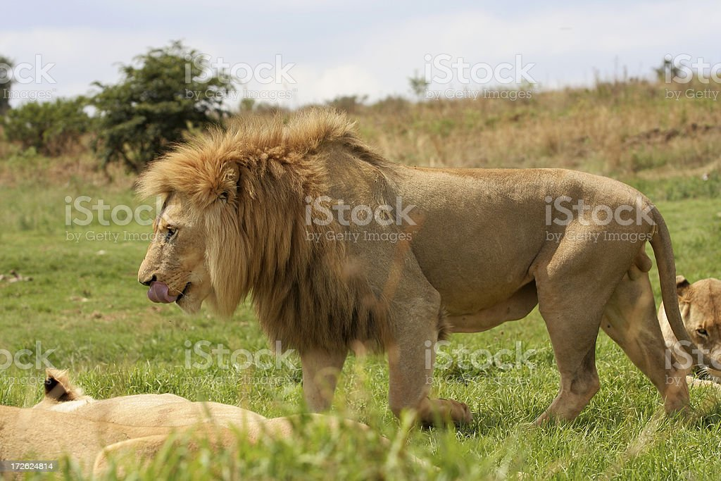 King of Africa royalty-free stock photo