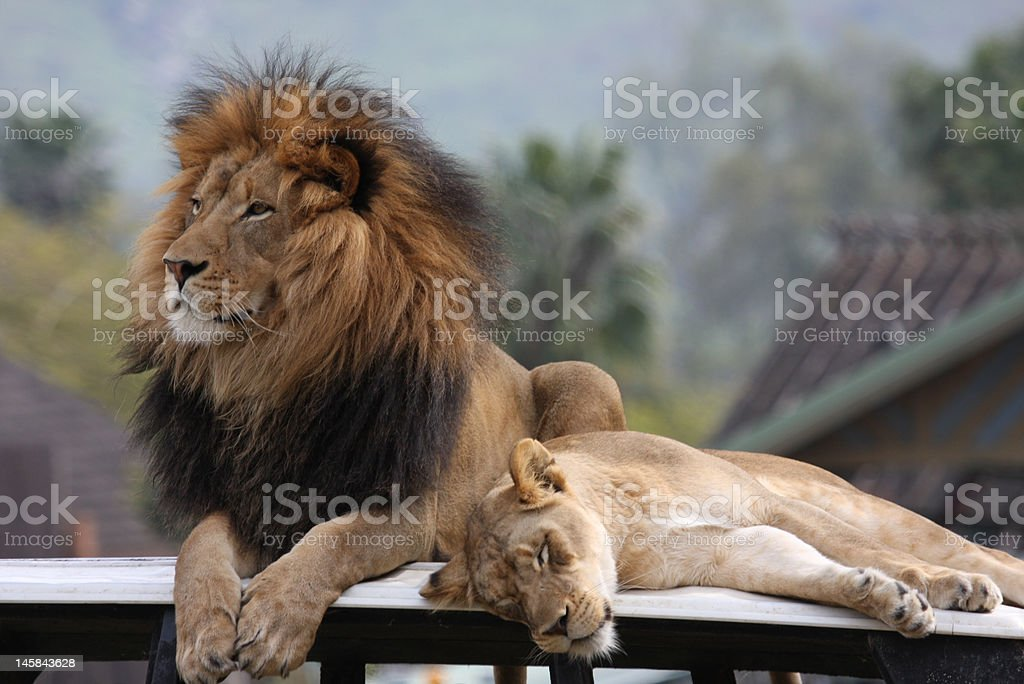 King of Beasts, Lion and Lioness royalty-free stock photo