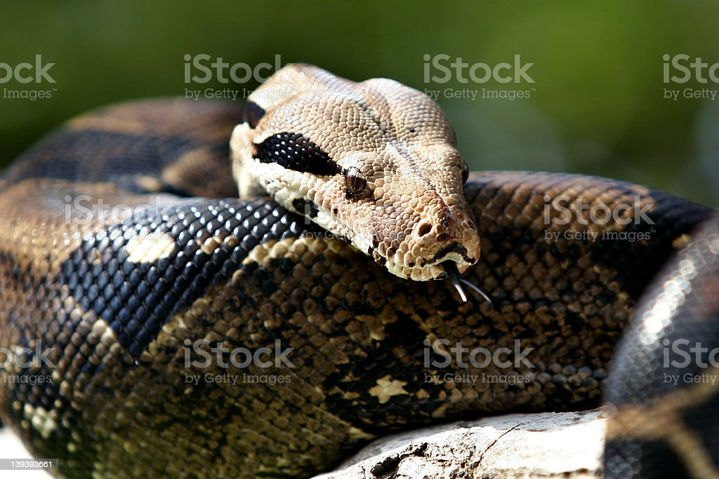 King of Snakes royalty-free stock photo