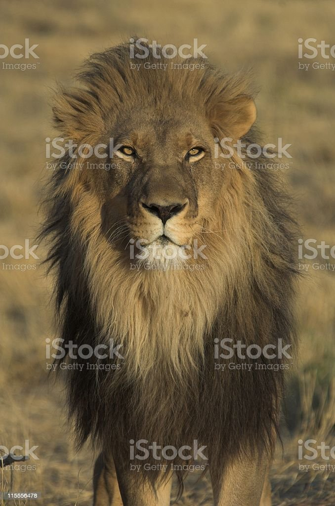 King of the Animals royalty-free stock photo
