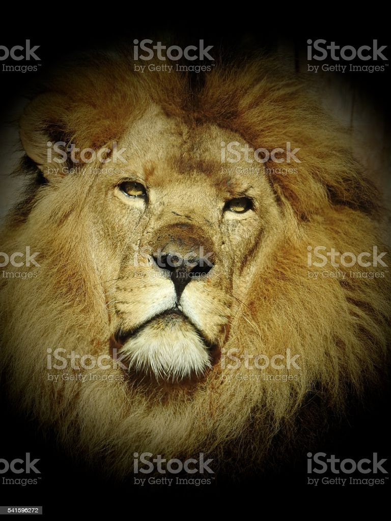 King of the Beasts stock photo