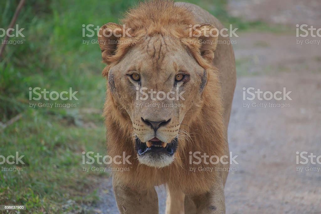 King of the forest. stock photo