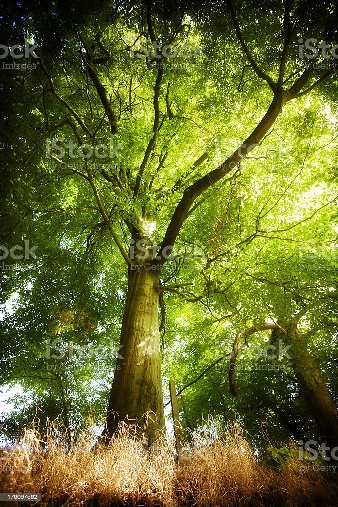 King of the Forest - Tree royalty-free stock photo