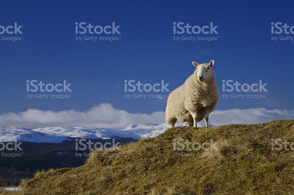 King of the Hill - Sheep Above Loch Tay Scotland royalty-free stock photo