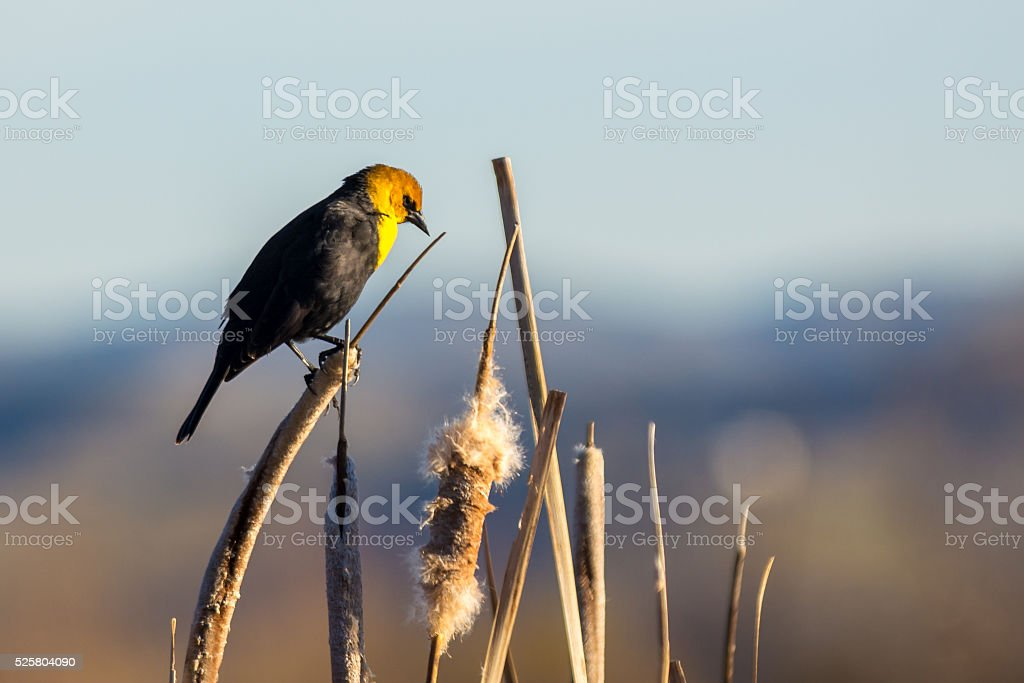 King of the hill...at least the marsh stock photo