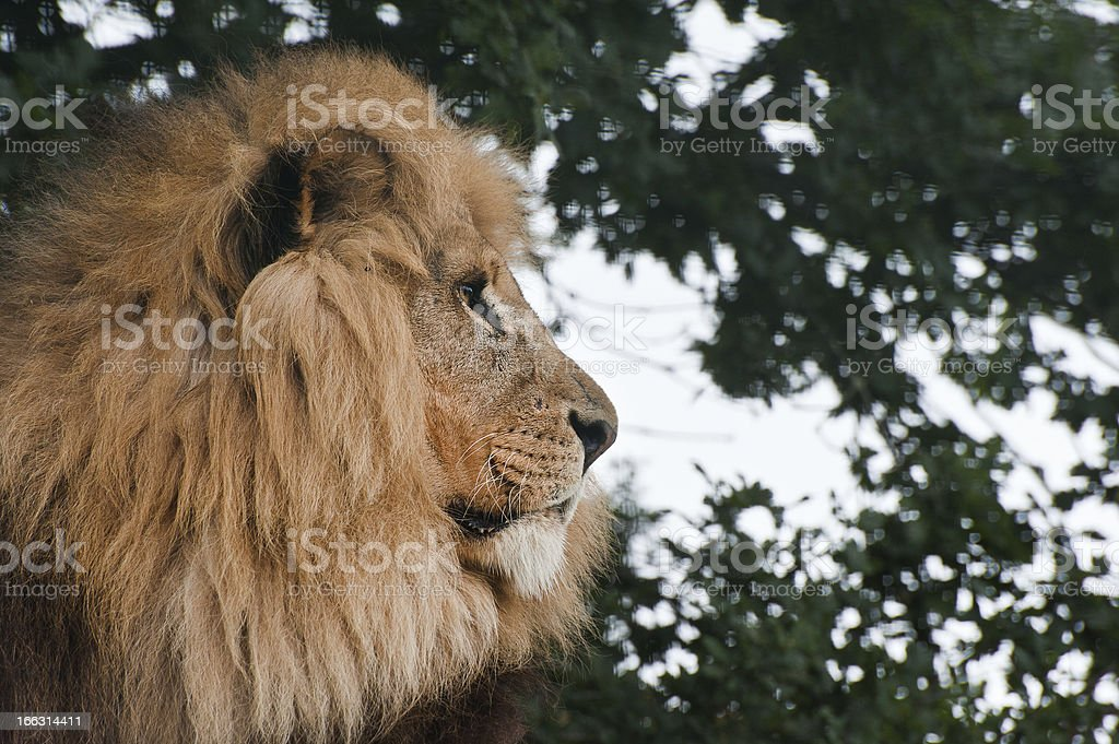 King of the Jungle Lion Panthera Leo big cat royalty-free stock photo