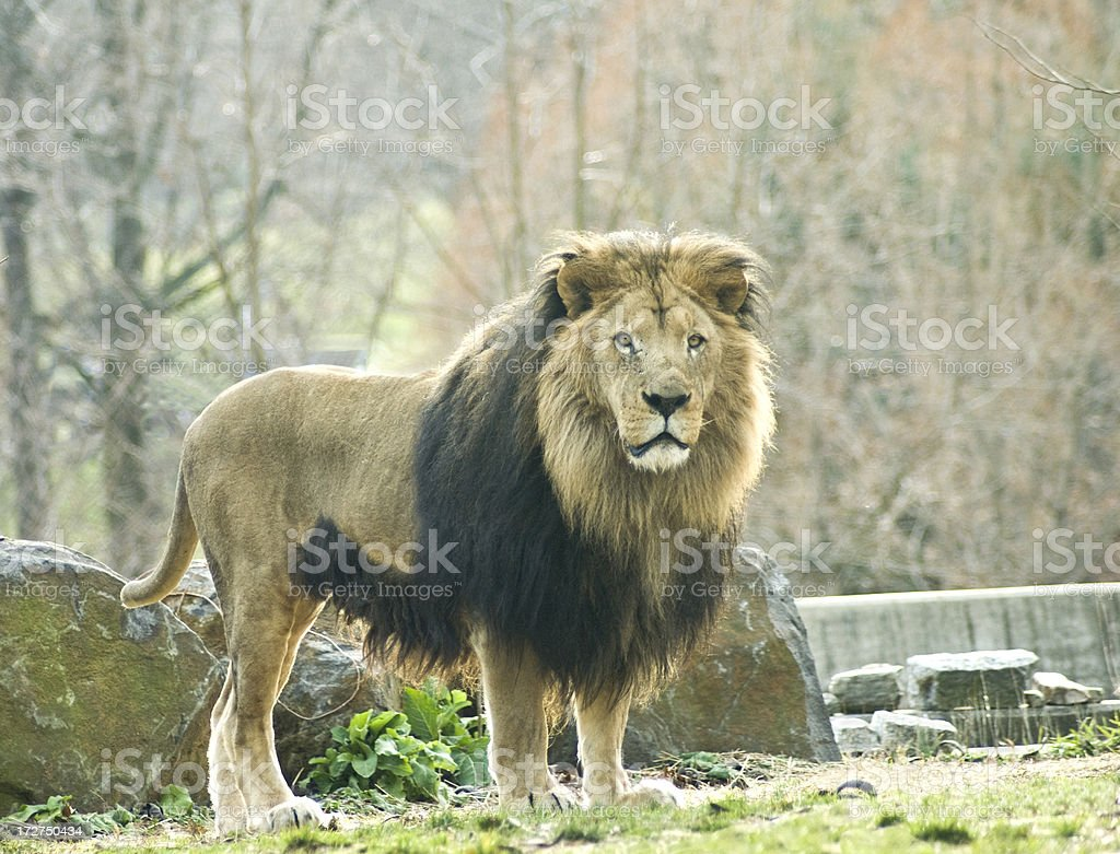 King of the Jungle royalty-free stock photo