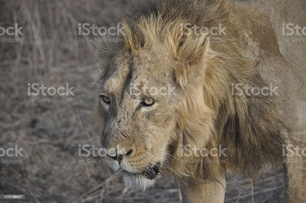 King Of The Jungle! stock photo