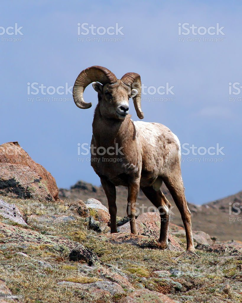 King Of The Mountain (Bighorn Ram) stock photo