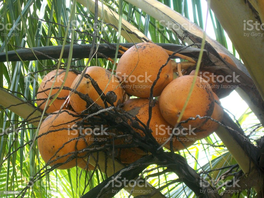 King orange coconut tree stock photo