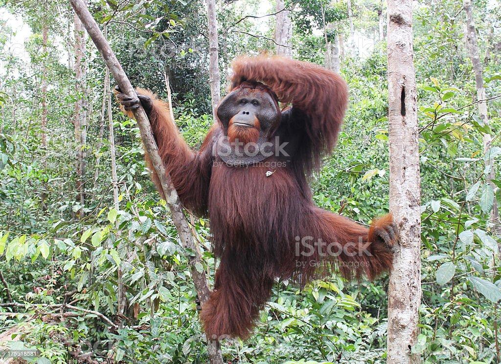 King Orangutan stock photo