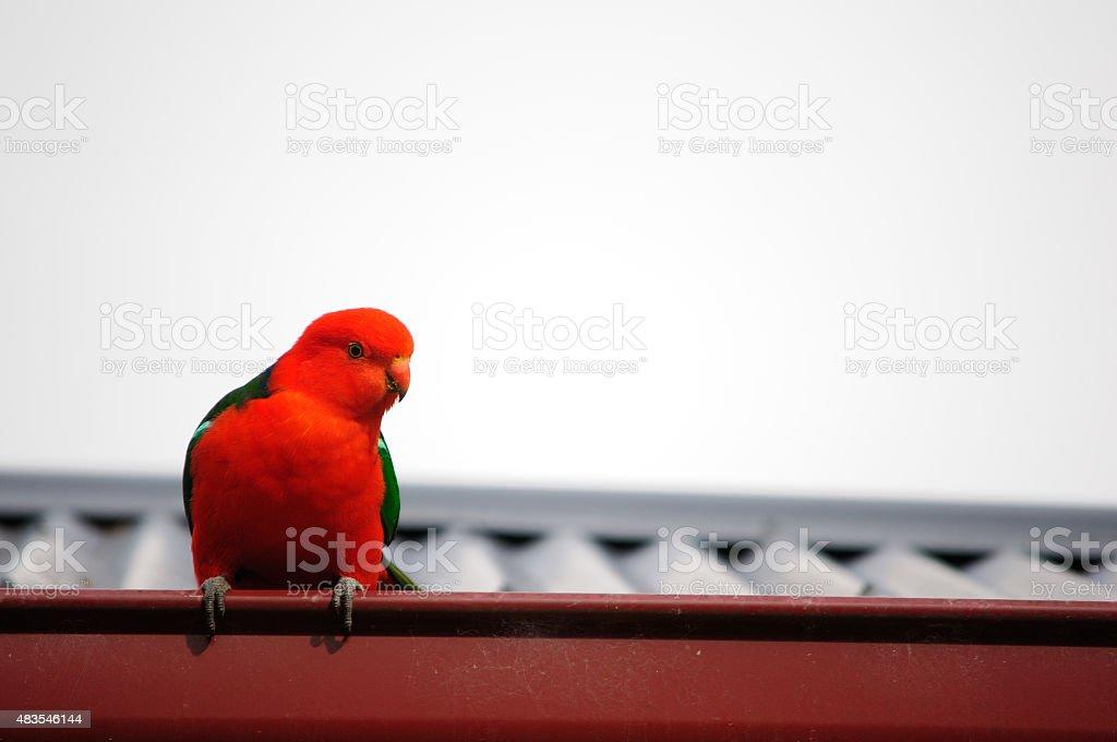 King Parrot, Australian wildlife stock photo