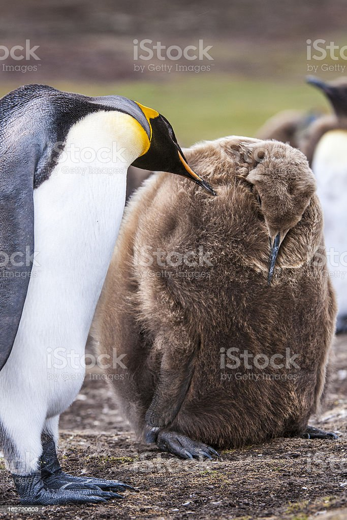 King Penguin Caress royalty-free stock photo