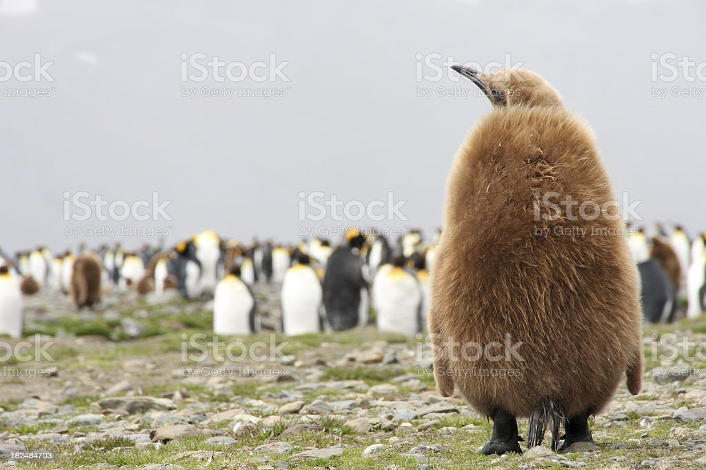 King Penguin chick and colony royalty-free stock photo