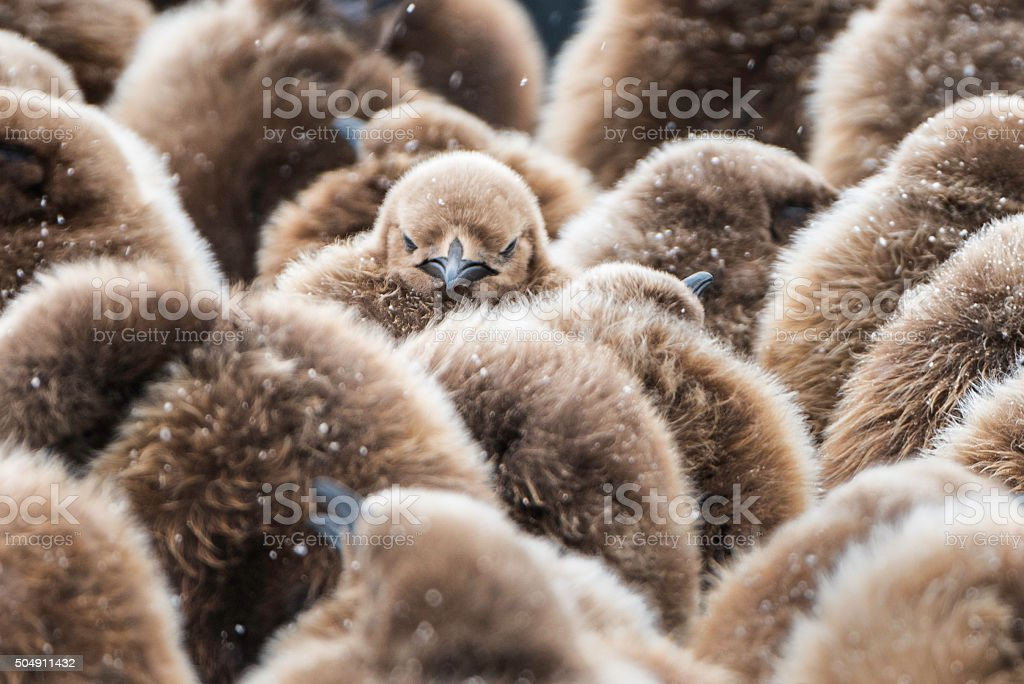 King Penguin Chicks huddled in creche on South Georgia Island stock photo