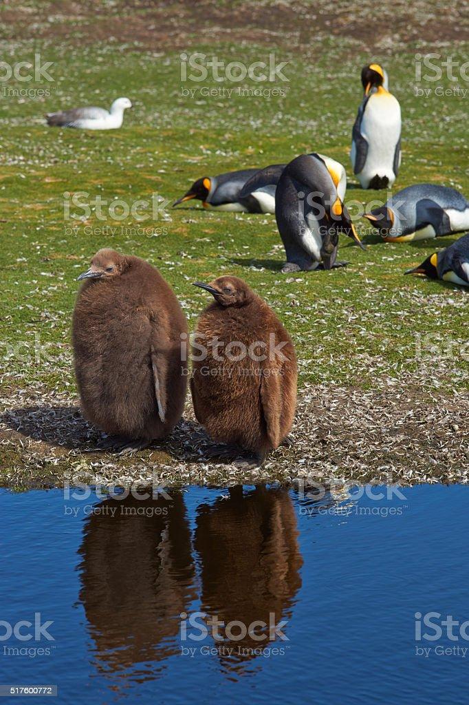 King Penguin Chicks stock photo