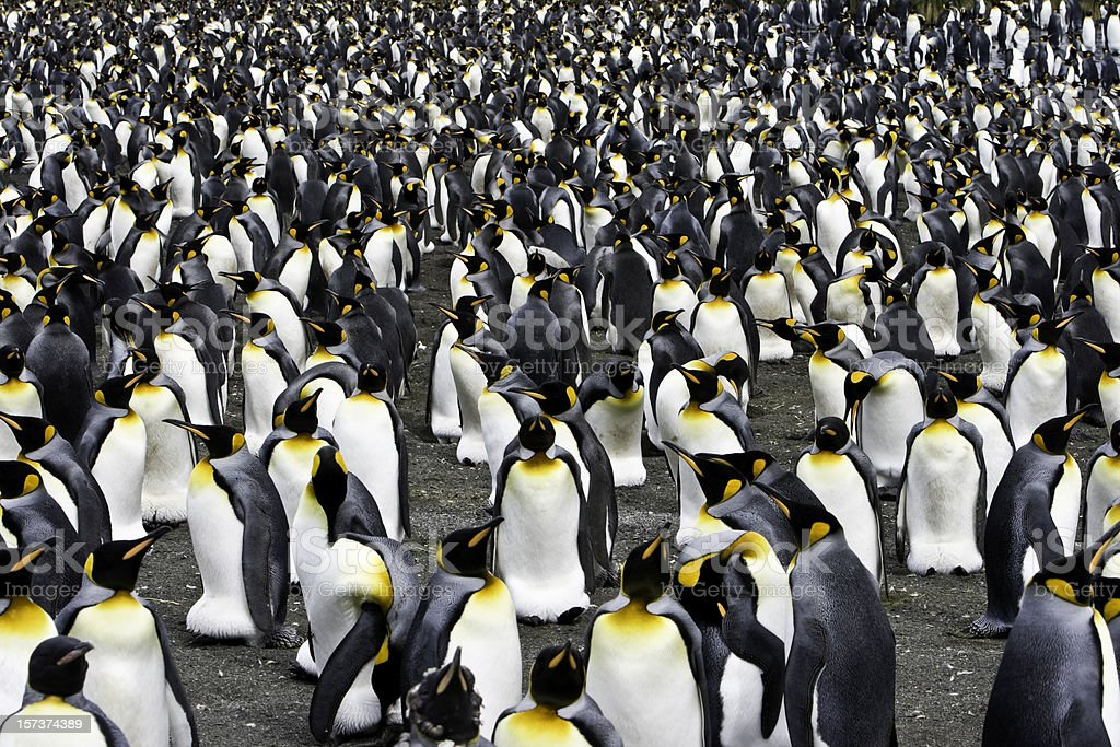 king penguin colony antarctica stock photo