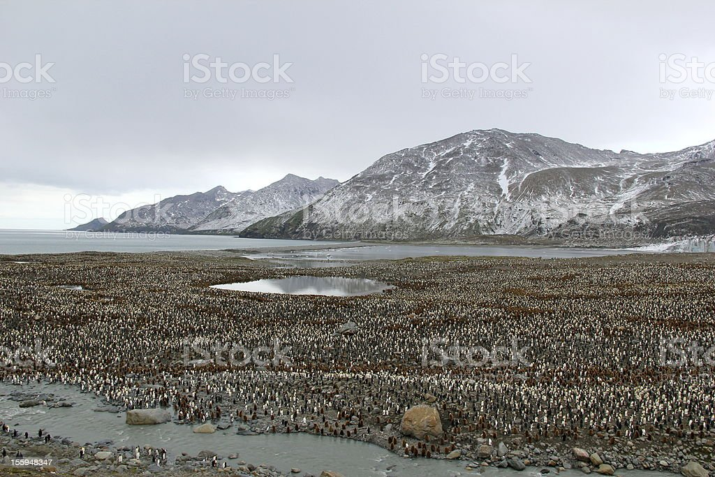 King penguin colony at Salisbury Plain in South Georgia. royalty-free stock photo