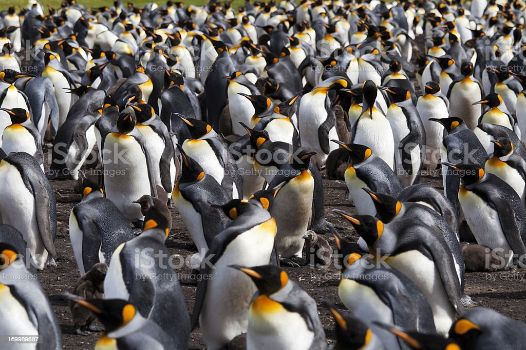 King Penguin Colony, Falkland Islands royalty-free stock photo