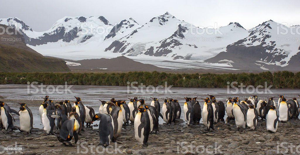 King penguin colony in South Georgia Antarctica stock photo