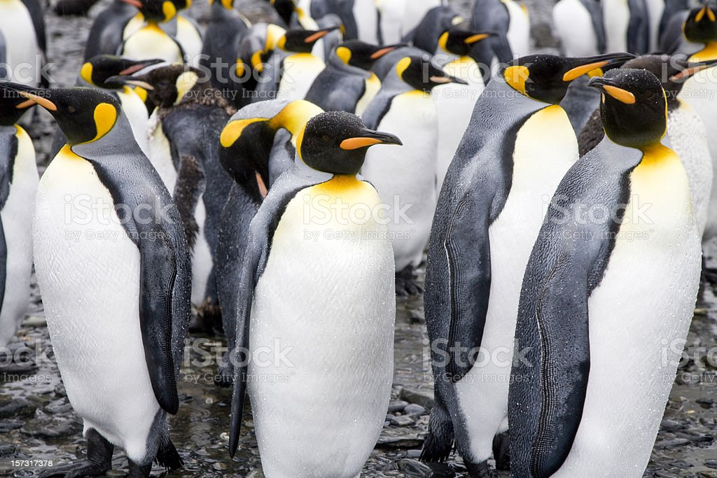 King Penguin Colony royalty-free stock photo
