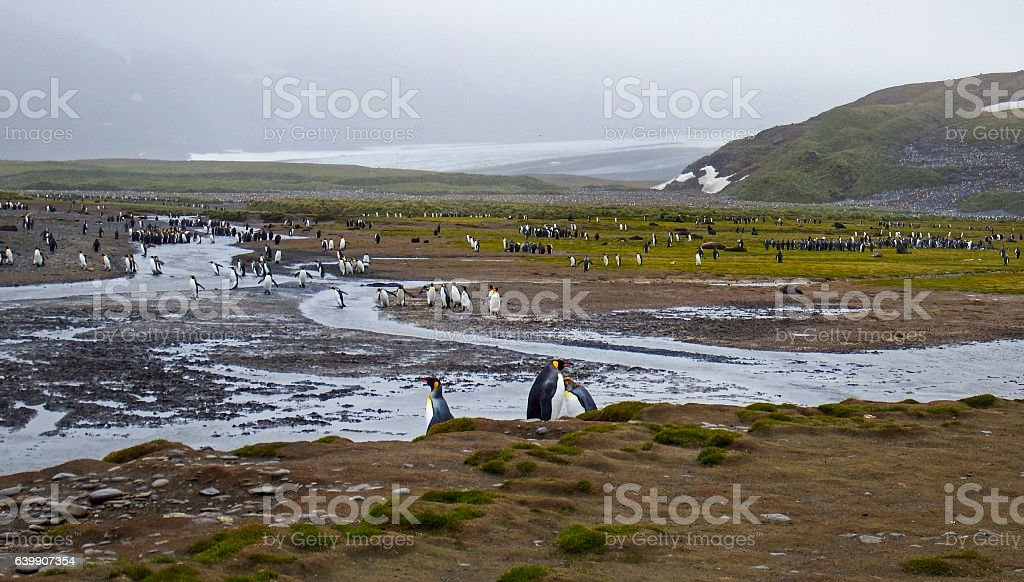 King penguin colony Salisbury plain stock photo